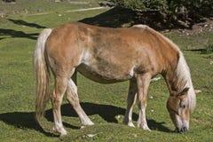 Haflinger häst på en bergäng royaltyfria bilder