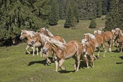 Haflinger hästar på en bergäng fotografering för bildbyråer
