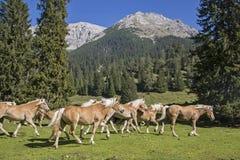 Haflinger hästar på en bergäng royaltyfria bilder