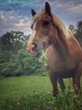 Haflinger. Horse eating in a pasture Stock Photography