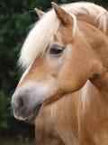 Haflinger Headshot Royalty Free Stock Images
