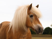 Haflinger Headshot stock photography