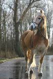 Haflinger horse Stock Photos