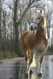 Haflinger horse. A full body portrait of an Austrian Haflinger horse Stock Photos