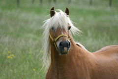 Haflinger horse. Beautiful haflinger horse stock images