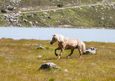 Haflinger Horse in Austria Royalty Free Stock Photos