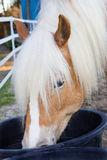 Haflinger horse is drinking water Stock Images