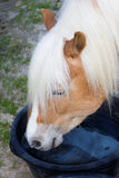 Haflinger horse is drinking water Royalty Free Stock Photo