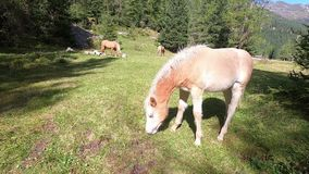 A Haflinger horse foal grazes the grass in a Trentino meadow with dad and mum in the background