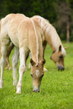 Haflinger horse with foal Stock Images