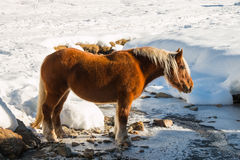 Haflinger horse goes drinking on the snow Stock Photography