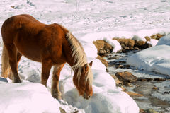 Haflinger horse goes drinking on the snow Stock Photos