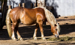 Haflinger Horse Grazing Stock Photo