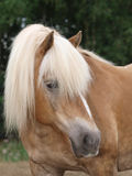 Haflinger Horse Head Shot Royalty Free Stock Photography