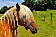 Haflinger, Horse, Mane, Horse Head Stock Photo