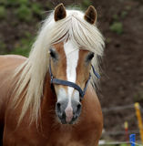 Haflinger horse Royalty Free Stock Images