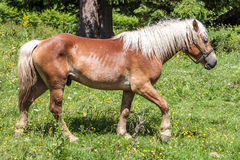 Haflinger Royalty Free Stock Photography