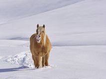 Haflinger  horse neighs  in mountain  meadows full of snow Stock Photo