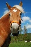 Haflinger horse portrait. Portrait of haflinger horse with the blue skye Stock Image