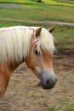 Hafling horse portrait stock photos