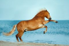 Haflinger horse rearing up in the sea. The haflinger horse rearing up in the sea royalty free stock image