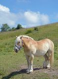 Haflinger Horse,Ruegen island,Baltic Sea,Germany Royalty Free Stock Photos