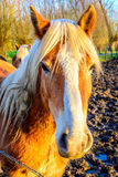 Haflinger Horse in the sun Royalty Free Stock Images