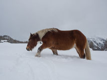 Free Haflinger Horse Trudging Through Deep Snow Royalty Free Stock Photos - 81057948