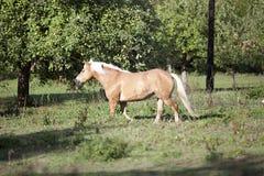 Haflinger horse waiting outside portrait Royalty Free Stock Photos