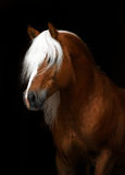 Haflinger Stock Photography