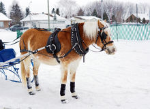 Haflinger horse in winter competiton Royalty Free Stock Photo