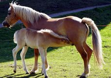 Haflinger horses royalty free stock image