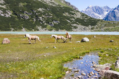 Haflinger Horses in Austria Royalty Free Stock Images