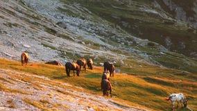 Haflinger of horses stock footage