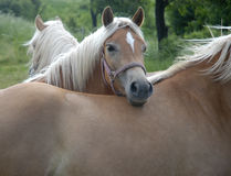 Haflinger horses III. Haflinger horses on a meadow Royalty Free Stock Photos