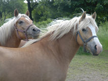 Haflinger horses IV. Haflinger horses on a meadow Stock Photo