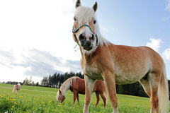 Haflinger horses on the meadow Royalty Free Stock Images