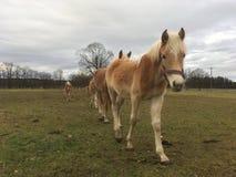 Haflinger horses Royalty Free Stock Photography