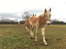 Haflinger horses Stock Images
