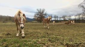 Haflinger horses Royalty Free Stock Photo