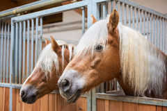 Haflinger horses in stable Stock Image