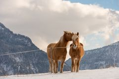 Two Haflinger horses on the winter meadow and mountain peaks on background stock photos