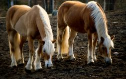 Haflinger II Royalty Free Stock Images