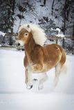 Haflinger im Schnee Стоковые Фотографии RF