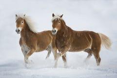 Haflinger im Schnee Стоковое Фото