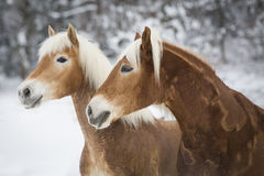 Haflinger im Schnee royaltyfri foto