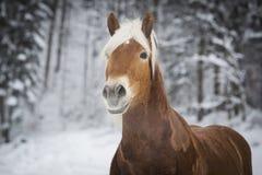 Haflinger im Schnee Royalty-vrije Stock Afbeeldingen