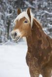 Haflinger im Schnee Immagine Stock
