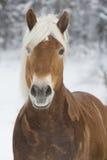 Haflinger im Schnee Стоковое Изображение RF