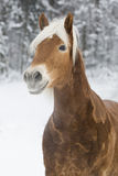 Haflinger im Schnee Photo stock